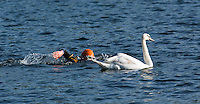 01 JUNE 2014 - LONDON, GBR - A swan crosses the course during the 2014 ITU World Triathlon Series Open Age Group Olympic Distance race swim in The Serpentine in Hyde Park in London, Great Britain (PHOTO COPYRIGHT © 2014 NIGEL FARROW, ALL RIGHTS RESERVED)