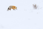 Adult red fox (Vulpes vulpes) walking through blizzard / snow storm. Hayden Valley, Yellowstone, USA. February