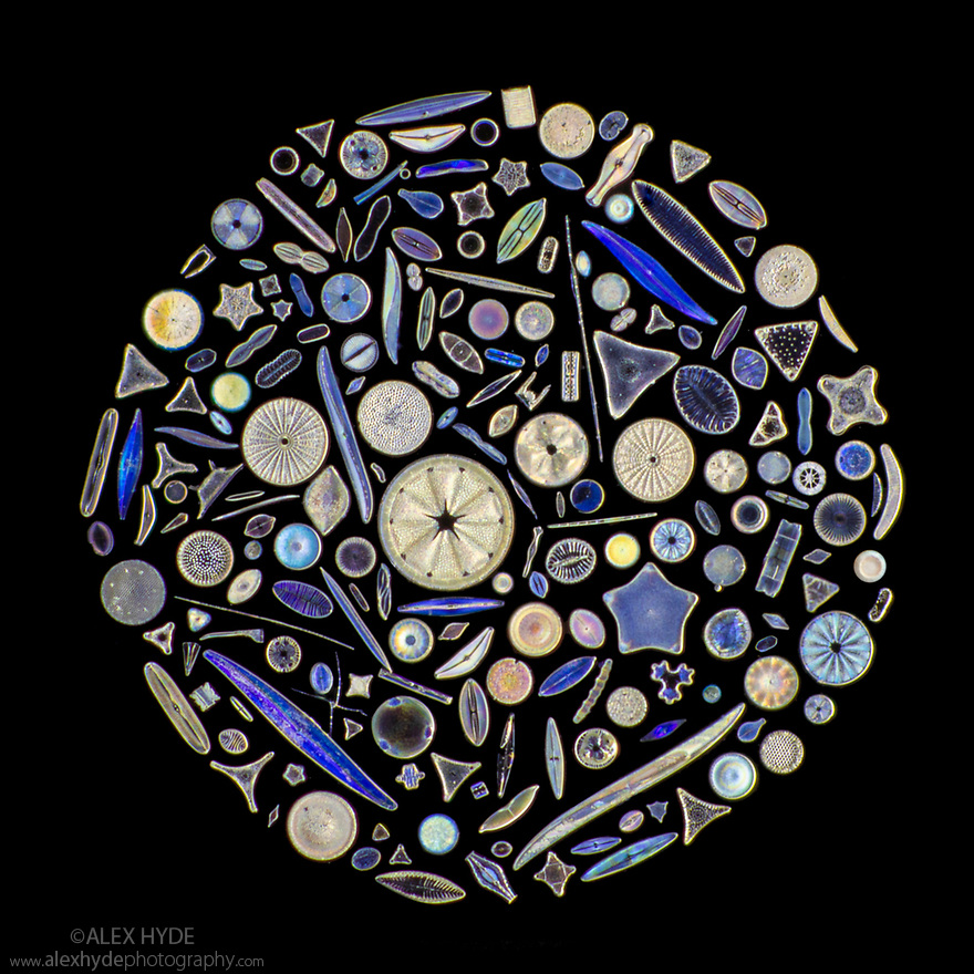 Diatoms on a microscope slide, arrangement by world-renowned diatomist Kalus Kemp. The diameter of this minature work of art is under two millimetres. Diatoms are single-celled algae whose cell walls are constructed from silica and are known as a frustule.  Diatoms are the most dominant and widespread group of eukaryotes on Earth and come under the term phytoplankton (microscopic photosynthetic plankton) and as such provide the organic biomass that most of ocean life depends on. Diatoms are major oxygen generators as well as being central to the global carbon cycle, responsible for 20% of global carbon fixation through photosynthesis. Additionally they play major roles in the cycling of other nutrients such as silicon and nitrogen. Diatoms are thought to be major contributors to crude oil deposits, following their deposition and burial on the ocean floor. Specific diatom biomarkers are currently used to locate potential sites for crude oil drilling.