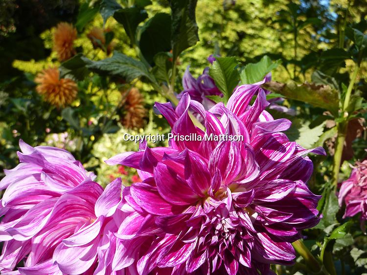 Two colors of dahlias