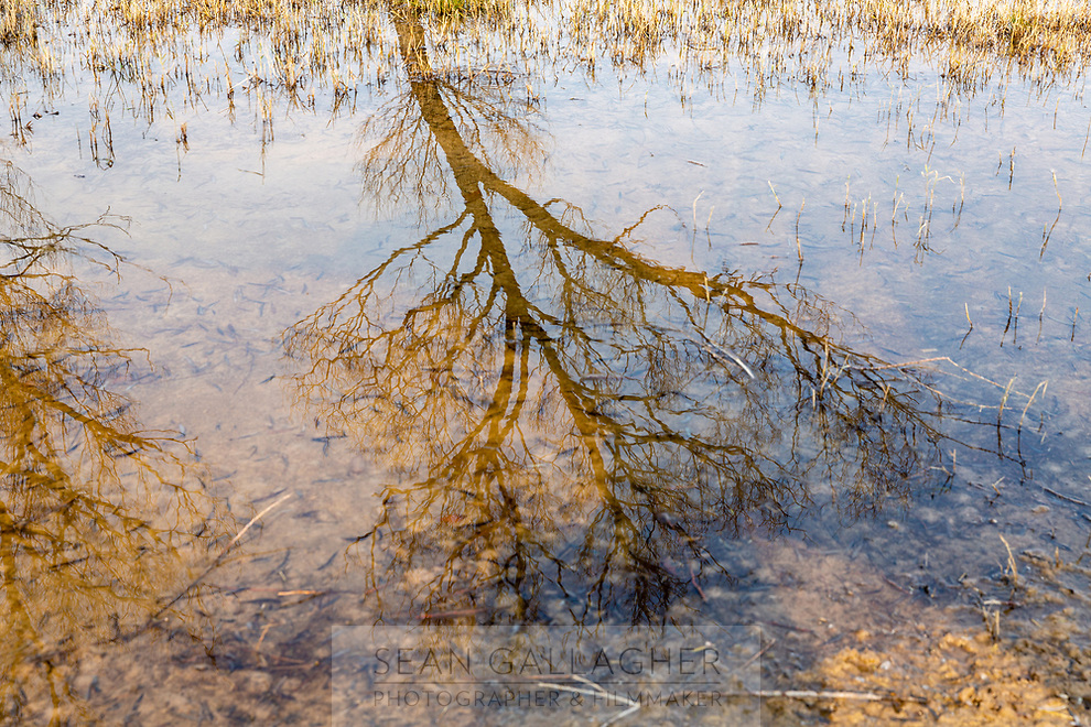 A tree is reflected in flooded land in the lower reaches of the Yellow River estuary which marks the southernmost boundary of Bohai Bay. The nationally protected estuary region faces severe threats from rising sea levels which have already impacted the area. Shandong province, China. 2019