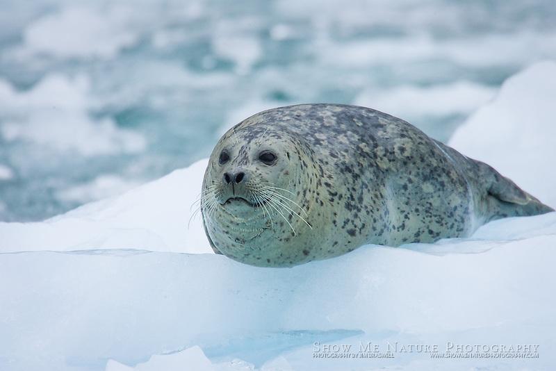 Harbor Seal on iceberg, LeConte Glacier, Alaska