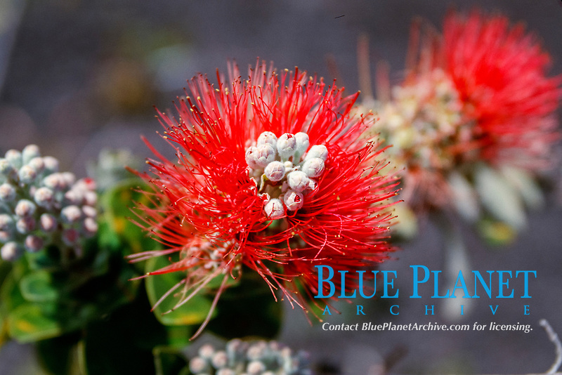 ohi'a lehua, Metrosideros polymorpha, official flower of the Big Island, a pioneer plant that grows on lava rocks, South Kona, Hawaii, Pacific Ocean