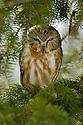 00850-003.19 Saw-whet Owl (DIGITAL) is perched in balsam fir tree.  Hunt, prey, predator, raptor, eyes, bird, birding.  V5F1