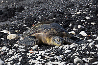 A honu (green sea turtle) rests on a part of a black sand beach strewn with white rocks on the Big Island.