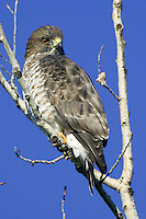 Broad-winged Hawk perched near the top of a tree