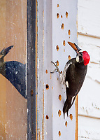 Acorn Woodpecker (Melanerpes formicivorus) storing acorn in window frame of old ranch house.  CA.  Winter.