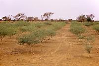 Gum Arabic.  Rows of Acacia Senegal trees in a gum Arabic plantation, Niger, West Africa.