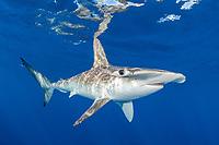 Smooth Hammerhead Shark, Sphyrna zygaena. Cabo San Lucas, Baja, Mexico, Eastern Pacific.