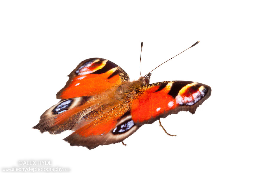 Peacock butterfly {Inachis io} photographed on a white background in mobile field studio. Peak District National Park, Derbyshire, UK. September