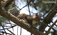 1221-0904  Gray Squirrel Climbing in Tree, Sciurus carolinensis  © David Kuhn/Dwight Kuhn Photography
