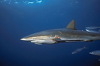 silky shark, Carcharhinus falciformis, female with mating scars, Cocos Island, Costa Rica, Pacific Ocean