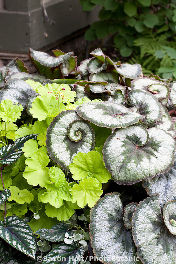 Shade garden container of foliage plants: Painted begonia silver leaf 'Escargo', Geranium 'Persian Queen'