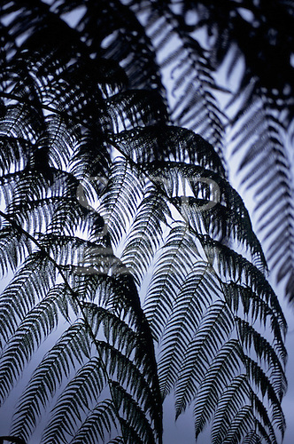 Arenal, Costa Rica. Tree fern leaves in silhouette against the sky.