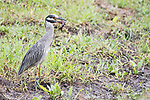 Damon, Texas; a yellow-crowned night heron feeding on a crawfish while standing at the edge of the slough on an overcast afternoon