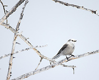 A Canada Jay alights on a bare perch in the Yellowstone interior.