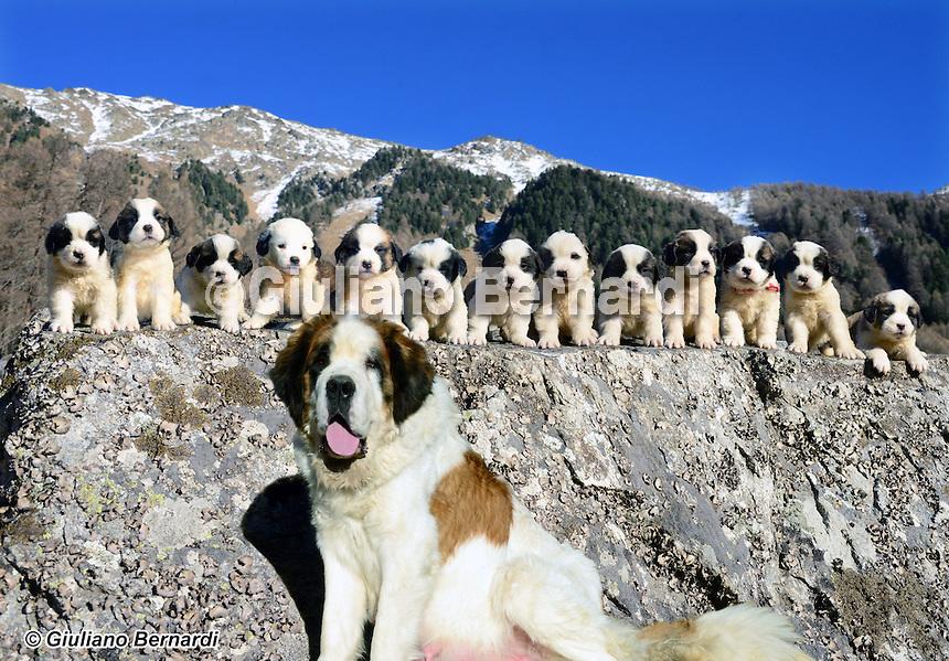 Cucciolata San Bernardo<br /> Sweet Saint Bernard puppies