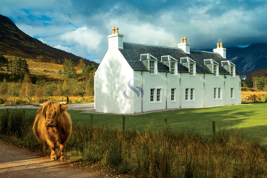 A Highland Cow beside Coulin Lodge, Coulin Forest, Ross & Cromarty, Northwest Highlands