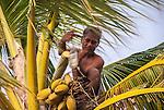A local i-Kiribati collecting sap from a palm tree to produce toddy on the island of Kiritimati, Kiribati.