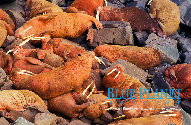 Pacific walrus, Odobenus rosmarus divergens, colony, resting on rocky shore, Round Island, Walrus Islands State Game Sanctuary, Alaska, Pacific Ocean