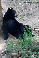 1021-1007  American Black Bear Resting on its Back Against a Tree, Ursus americanus  © David Kuhn/Dwight Kuhn Photography
