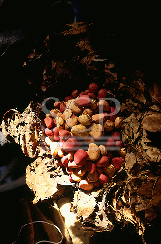 The Gambia. Market place; kola nuts on a bed of leaves.