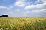 Europa, DEU, Deutschland, Nordrhein Westfalen, NRW, Rheinland, Niederrhein, Toenisberg, Wolfsberg, Agrarlandschaft, Feld, Acker, Getreide, Gerste, Anbau, Himmel, Wolken, Cumuluswolken, Mohn, Mohnbluete, Klatschmohn, Blueten, Papaver rhoeas, Kategorien und Themen, Landwirtschaft, Landwirtschaftlich, Agrar, Agrarwirtschaft, Erzeugung, Landwirtschaftliche Produkte, Natur, Naturfoto, Naturfotos, Naturfotografie, Naturphoto, Naturphotographie, Landschaft, Landschaften, Landschaftsfoto, Landschaftsfotografie, Landschaftsphoto, Landschaftsphotographie......[Fuer die Nutzung gelten die jeweils gueltigen Allgemeinen Liefer-und Geschaeftsbedingungen. Nutzung nur gegen Verwendungsmeldung und Nachweis. Download der AGB unter http://www.image-box.com oder werden auf Anfrage zugesendet. Freigabe ist vorher erforderlich. Jede Nutzung des Fotos ist honorarpflichtig gemaess derzeit gueltiger MFM Liste - Kontakt, Uwe Schmid-Fotografie, Duisburg, Tel. (+49).2065.677997, ..archiv@image-box.com, www.image-box.com]