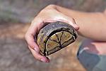 Opening Of Gulf Coast Box Turtle