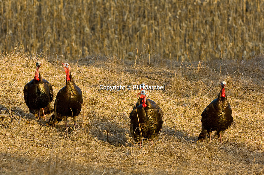 01225-095.12 Wild Turkey: Five jakes are in meadow on edge of cornfield duirng early spring.  Hunt, red, breed, gobble, strut, young, color, feed.