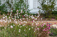Oenothera lindheimeri aka Gaura lindheimeri - Lindheimer's Beeblossom, Gaura, or Wand flower; white flowering drought tolerant perennial in Los Angeles, California Garden
