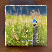 """Bluebird of Happiness - Mixed Media - Wyoming<br /> <br /> Each unique piece is made to order. If I have the piece in stock I can ship it in 2-3 days. If I don't have it in stock and it has to be made, it will ship in 1-2 weeks. Feel free to contact me at chey.rouse@gmail.com before you order if you need the piece ASAP. <br /> <br /> The photograph is printed on a Silk photo paper, the edges of the photo are torn, photo is mounted to foam board, then I mount it to an 8""""x8"""" piece of rusted metal. The rust is unique on each piece...no two pieces are alike. PLEASE keep in mind that the rust on the piece(s) you receive may be slightly different than the photo. Each piece of metal is sealed after it is done """"rusting"""" and is titled, hand signed and, ready to hang. To see the detail for theses Mixed Media pieces please click on the 1st photo in this gallery. You will be able to see the detail of the torn paper edge as well as the back of the piece. Just click on the piece that you like in this Gallery and then click the GREEN """"BUY"""" button in the left hand corner to add it to your cart."""