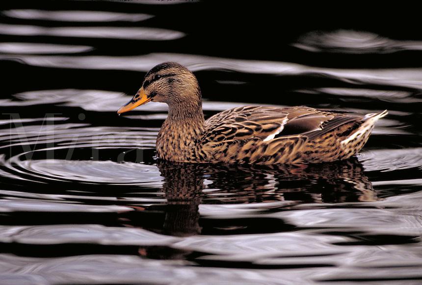 Mallard hen swimming. Washington USA King County.