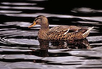 Mallard hen swimming. Washington USA King County.