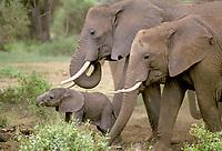 Elephants with calf ( Loxodonta africana ), Amboseli National Park, Kenya, Africa