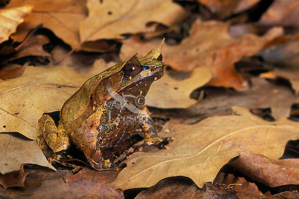 Asian Horned Frog/Malayan Horned Frog/Bornean Horned Frog has adapted its color and shape to blend almost perfectly with leaf litter. Native to Southeast Asia..Captive. Megophrys nasuta.