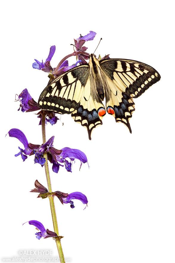Common Swallowtail butterfly {Papilio machaon} feeding on Meadow Clary {Salvia pratensis} flowers, photographed on a white background. Nordtirol, Tirol, Austrian Alps, Austria, 1700 metres altitude, July.