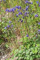 Gemeine Akelei, Gewöhnliche Akelei, Wald-Akelei, Aquilegia vulgaris, European columbine, Common columbine, Granny's nightcap, Granny's bonnet, Ancolie commune