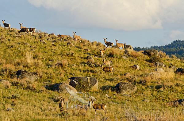 Mule Deer Herd (Odocoileus hemionus).  Gallatin National Forest, southern Montana.  Early May.