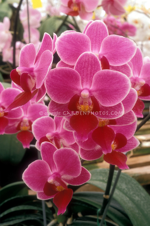 Orchids Phalaenopsis Carmela's Pixie (Terilyn Fujitake x Cassandra) pink Multifloral Moth Orchid