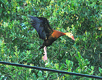 Adult black-bellied whistling-duck landing on telephone cable