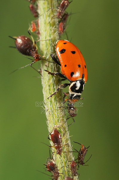 Convergent Ladybug (Hippodamia convergens), adult eating Aphids (Aphidoidea),  Laredo, Webb County, South Texas, USA