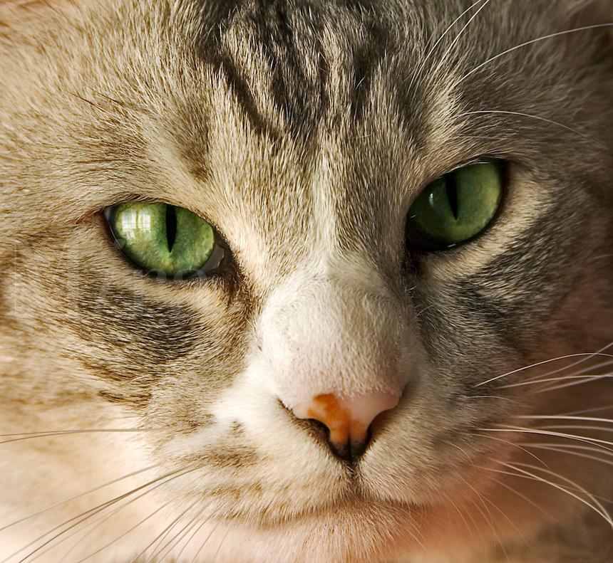 Cat. Gray/gray domestic tabby cat. Close up of face.
