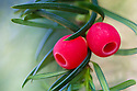 Yew berries (Taxus baccata). Strumpshaw Fen, Norfolk, UK. September.