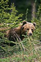 Grizzly Bear (Ursus arctos). June, Northern Rockies.