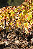 autumn colours vineyard quinta do infantado douro portugal