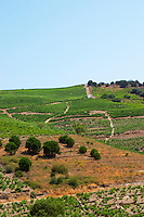 Banyuls-sur-Mer. Roussillon. Vineyards in early summer sunshine with vines in gobelet style. France. Europe. Vineyard.
