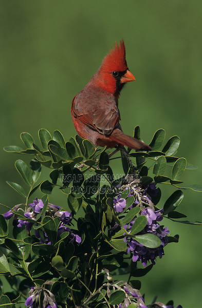 Northern Cardinal, Cardinalis cardinalis,male on blooming Texas Mountain Laurel (Sophora secundiflora), Lake Corpus Christi, Texas, USA, March 2003