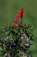 Northern Cardinal, Cardinalis cardinalis,male on blooming Texas Mountain Laurel (Sophora secundiflora), Lake Corpus Christi, Texas, USA, March 2003