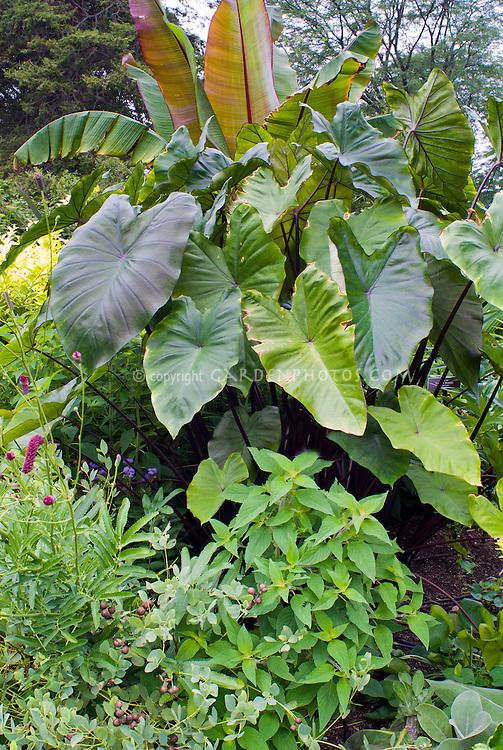 Colocasia esculenta 'Fontanesii', Taro elephant's ears, Salvia elegans, Ensete ventricosum 'Maurelii' tropical plants for a giant garden look