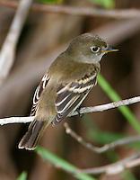 Adult least flycatcher